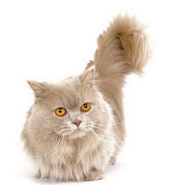 Наполеон кот стоит
