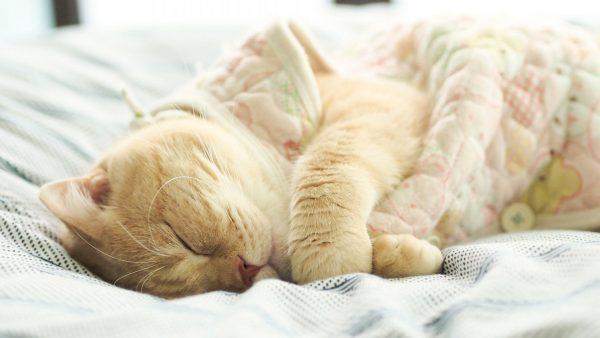Кошка спит на кровати хозяина