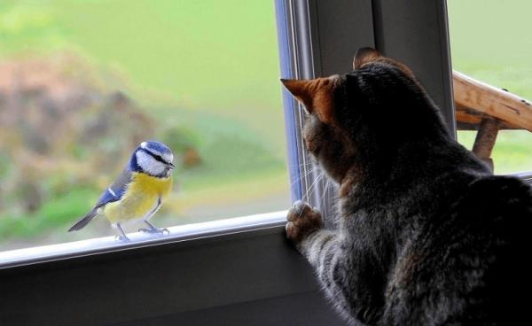 Кошка смотрит на синицу