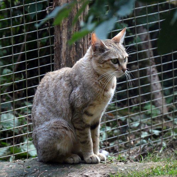 Окрас степного кота