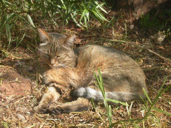 Степной кот на природе