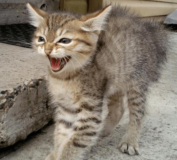 Котёнок степной кошки