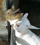 Кошка и коза