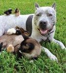 Кошка, собака и цыплята