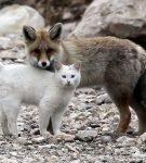 Кошка и лиса