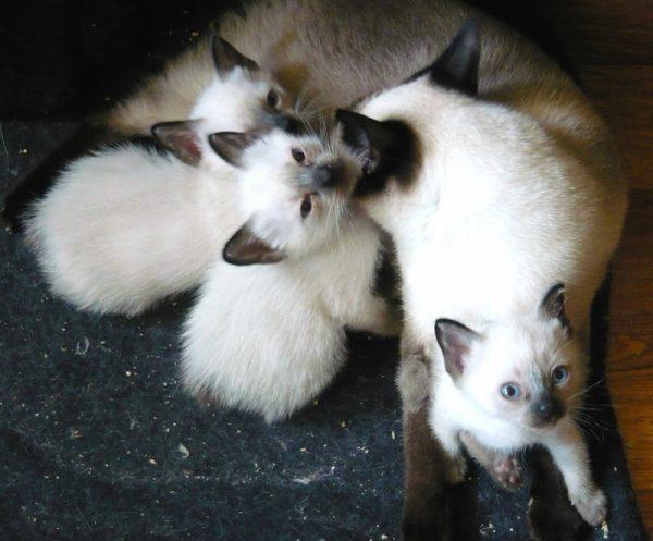 Кошка и котята породы скиф-тай-дон
