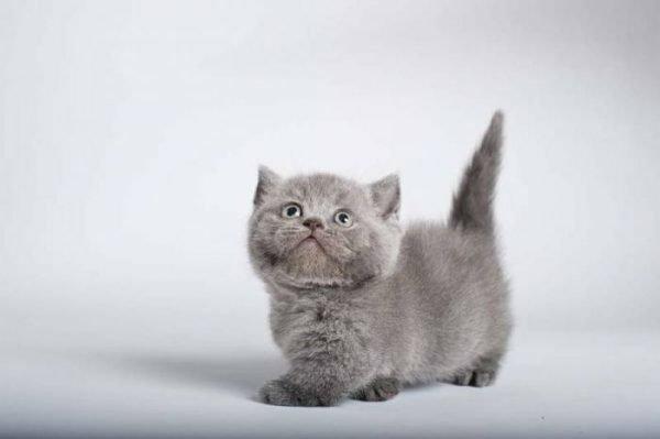 Серый котёнок манчкина