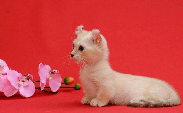 Коротколапый котёнок