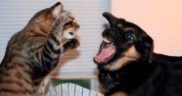 Кошка дерётся с собакой