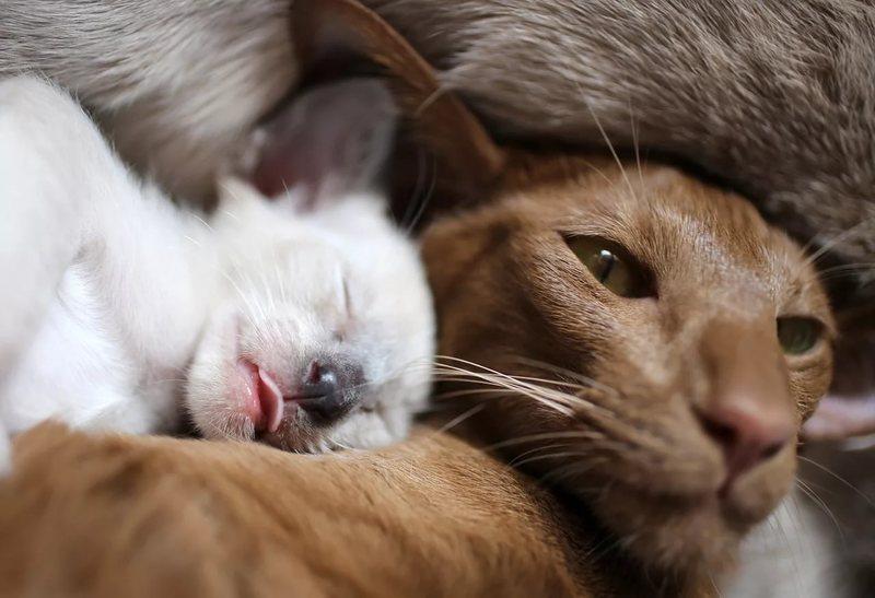 Мастит у кошек: симптомы, причины, лечение у кормящей или стерилизованной кошки