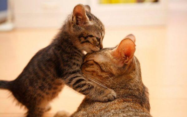 Полосатый котёнок целует маму-кошку