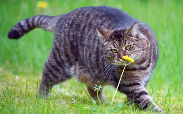 Толстый полосатый кот нюхает цветок