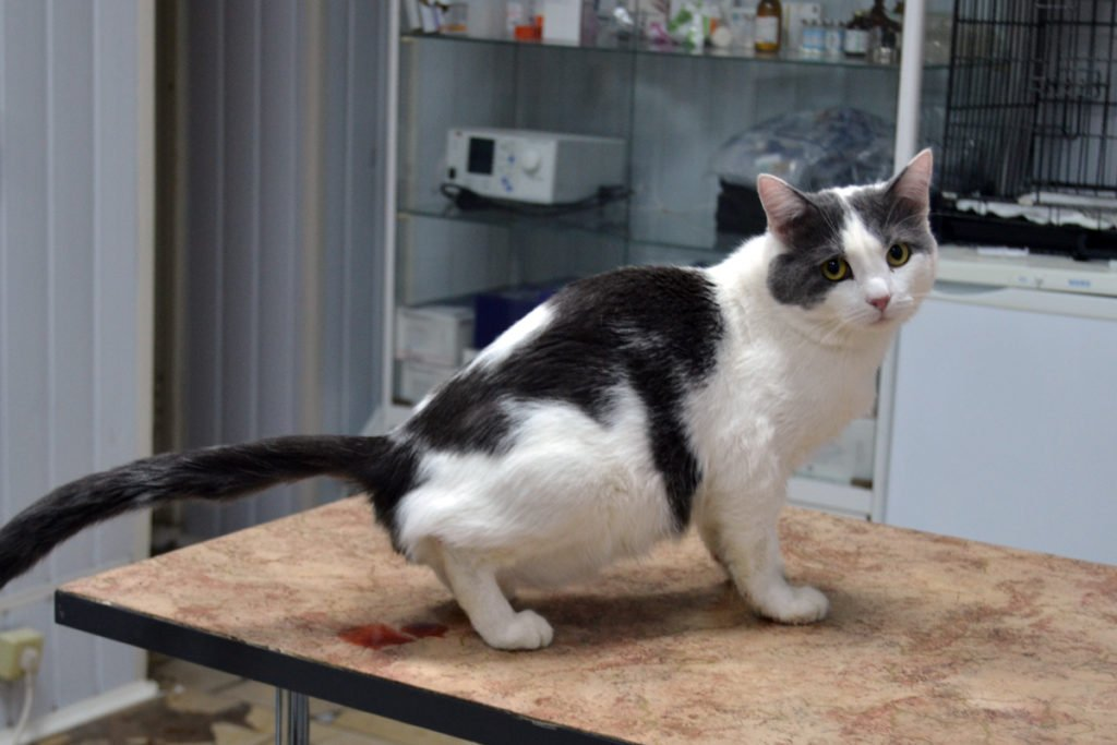 лечение кота от цистита