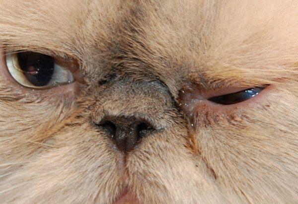 Слезотечение у персидского кота