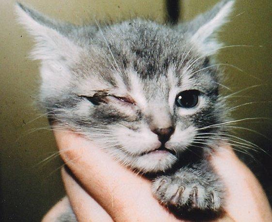 Слипшиеся веки у котёнка