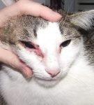 аллергический конъюнктивит у кота