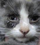 Обильное слезотечение при калицивирозе у котёнка