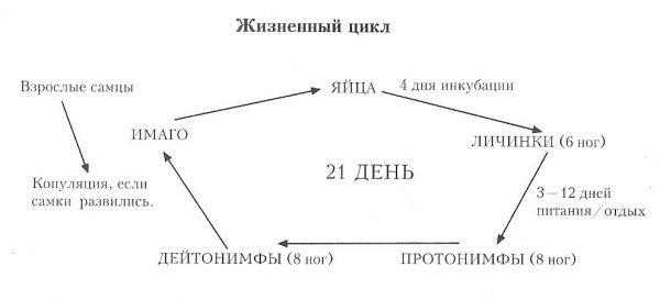Схема жизненного цикла ушного клеща