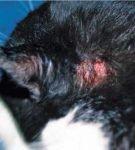 Раневая поверхность за ухом у кота
