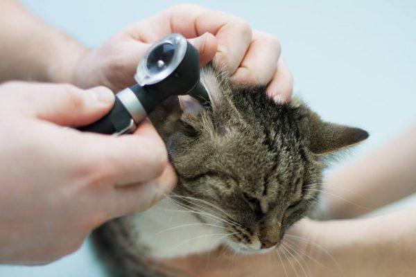 Ветеринар проводит отоскопию коту