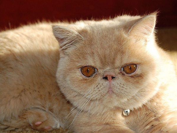 Прокрасы у кошки возле глаз