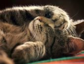 Серый кот лежит на спине