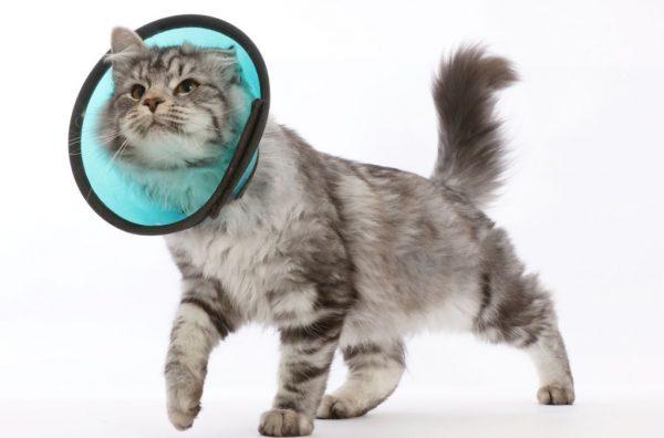 Кошка в защитном воротнике