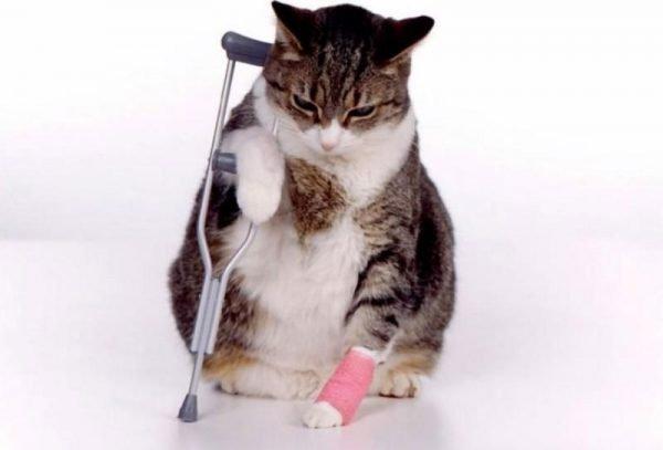 У кота болит лапа