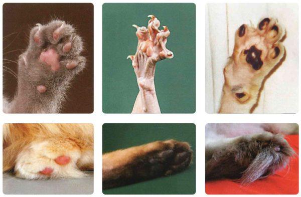 Передние и задние лапы кошки
