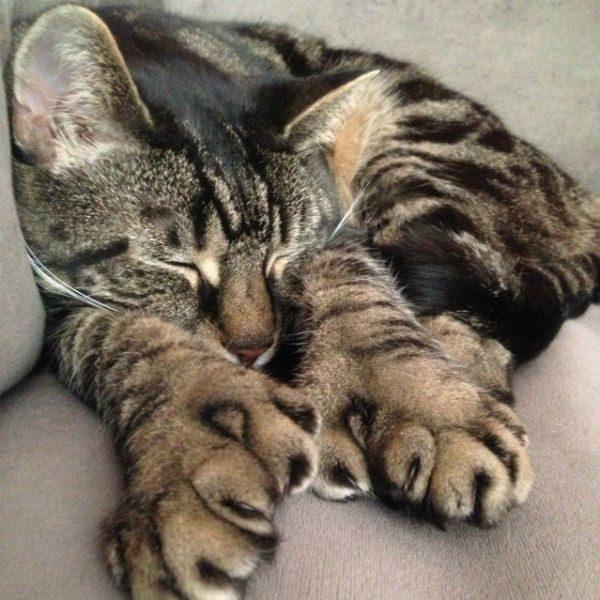 Кот-полидакт спит
