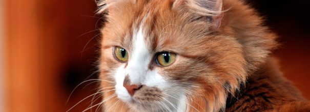Голова рыжего кота