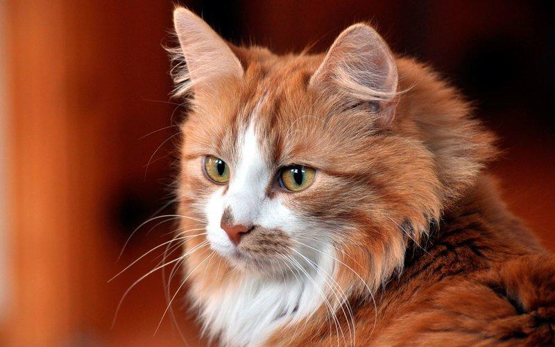 Симптомы и лечение власоеда у кошек в домашних условиях