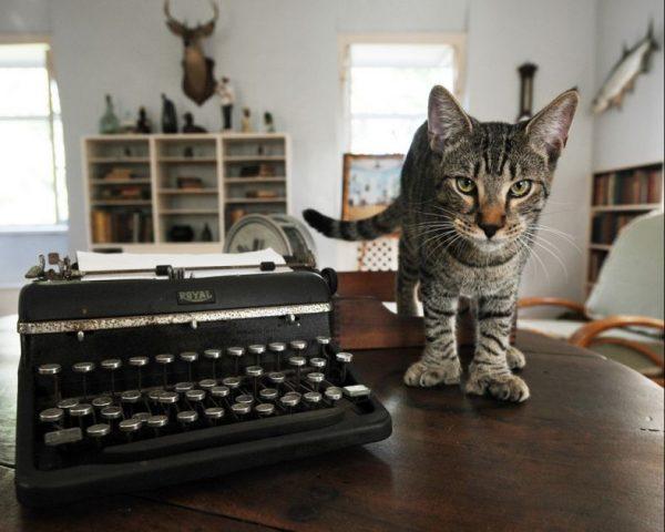 Американская многопалая кошка