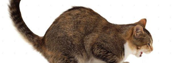 У котенка рвота и пенистая слюна
