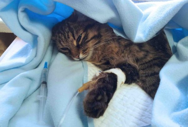Кот под капельницей