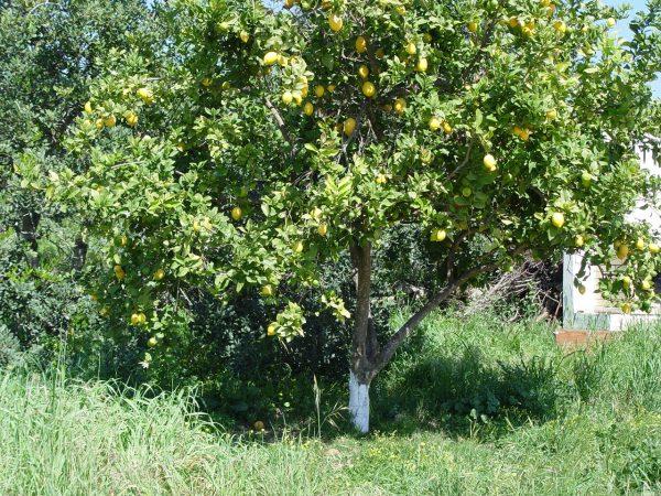 Дерево лимона в саду