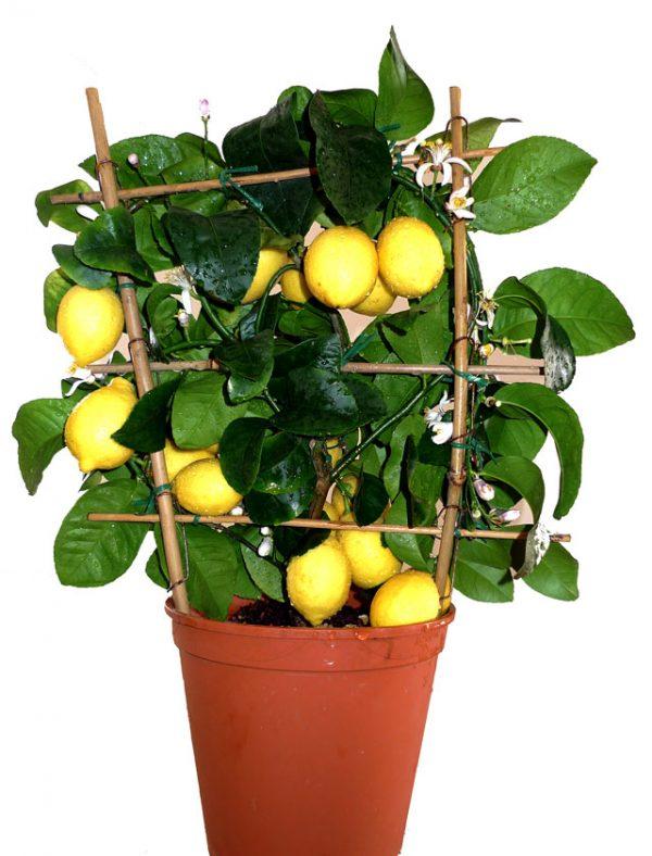 Комнатный лимон в горшке