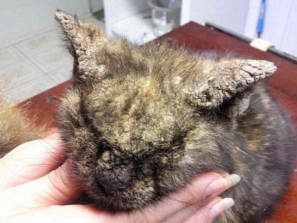 Множественные струпья, коросты на голове у кота