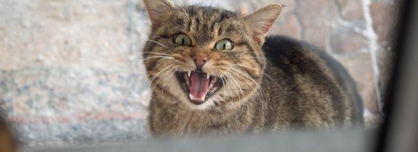 Кот мяучит