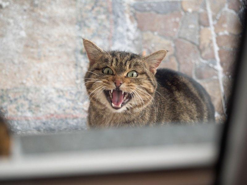 Что делать, если у кошки пропал голос?