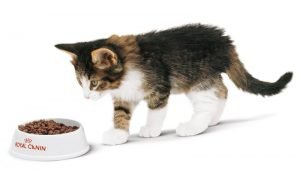 Приучение котёнка к сухому корму