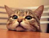 Кот,положивший голову на стол