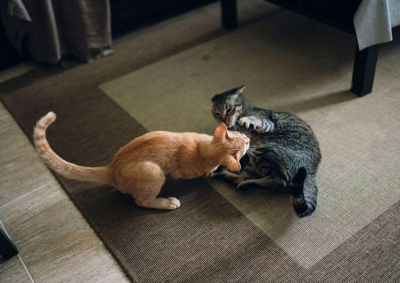 Две кошки в доме как подружить