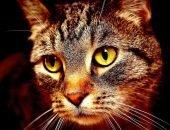 Голова полосатого кота