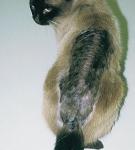 обширный участок облысения с пигментацией кожных покровов на спине у кошки