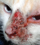 дерматит на морде у кота