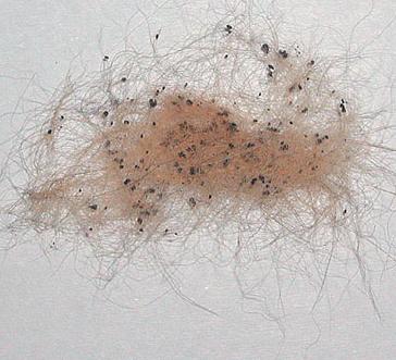 Экскременты блох в вычесанной шерсти кота