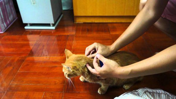 Кота обрабатывают от блох