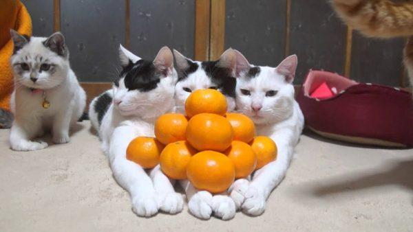 Кошки спокойно реагируют на мандарины
