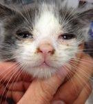 Гнойные выделения из глаз и носа у котёнка